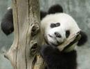 大熊猫圆圆