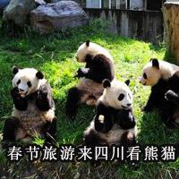 春节旅游来四川看熊猫