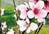 桃花朵朵开 南方赏桃花3大圣地推荐
