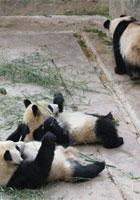 卧龙大熊猫感恩中国万里行