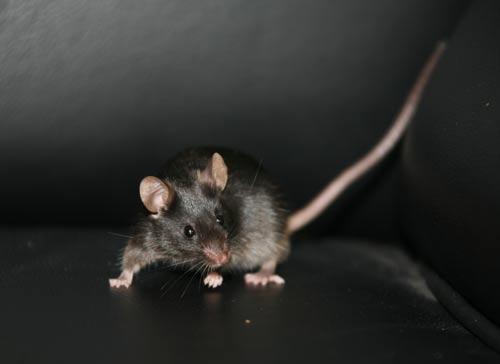 中国科学家从成年老鼠皮肤细胞中克隆出小老鼠
